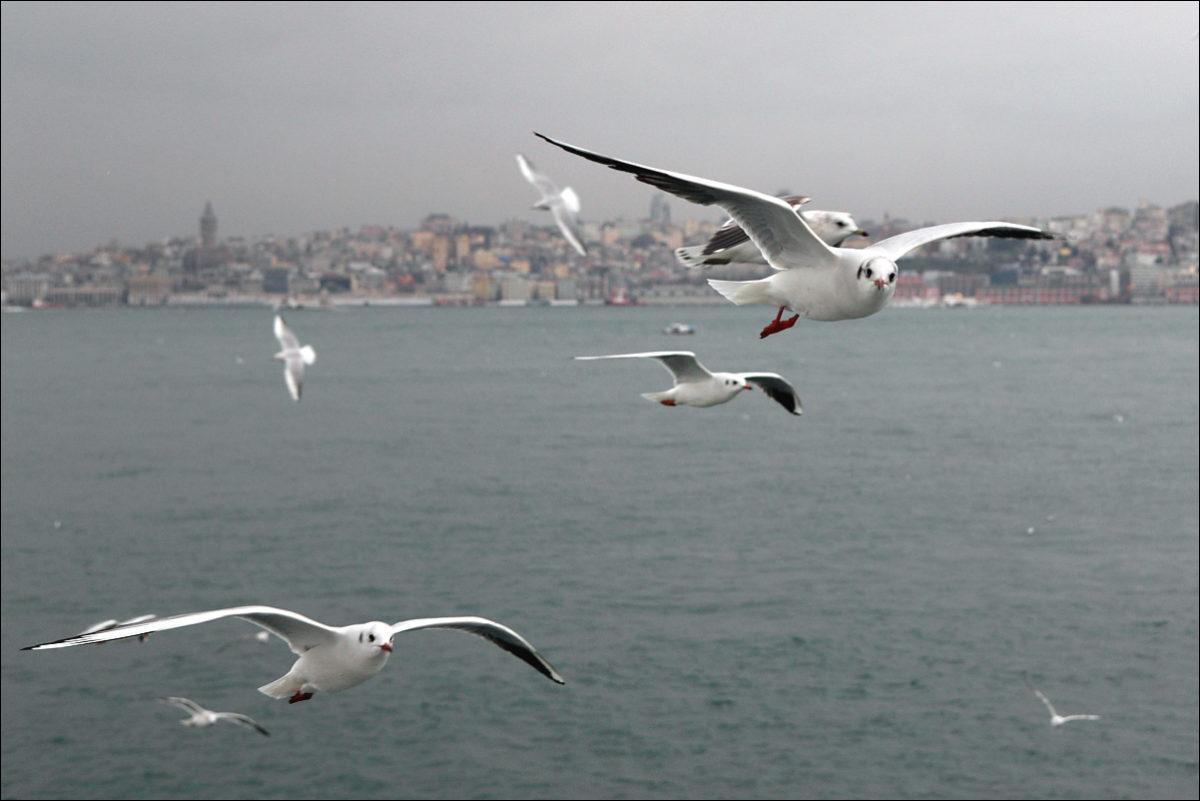 Чайки над бухтой Золотой рог Стамбул Галата