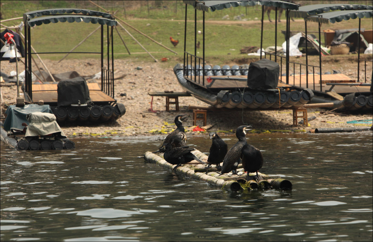Река Ли бакланы рыбаки Янгшо Китай