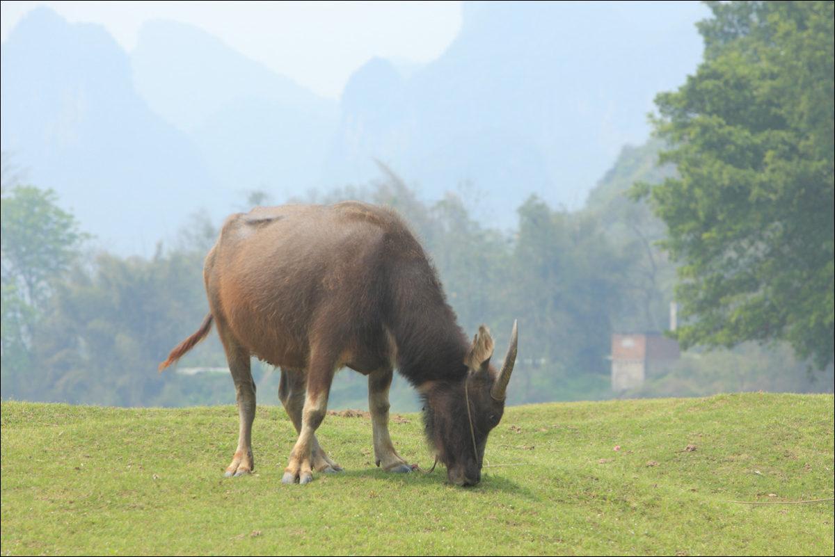 Деревня Фули Китай водяной бык