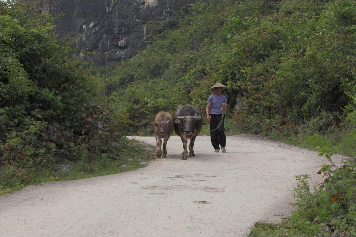 китайский крестьянин водяные быки