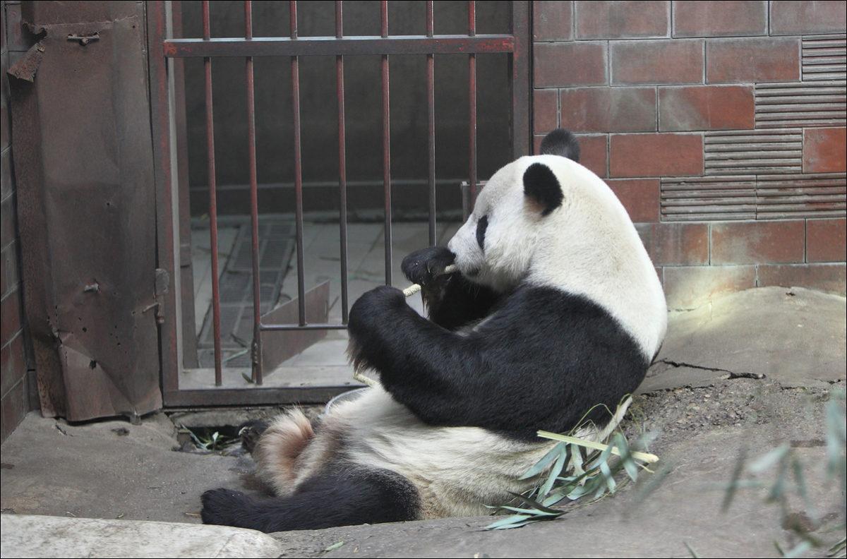 Панда ест бамбук зоопарк Пекина