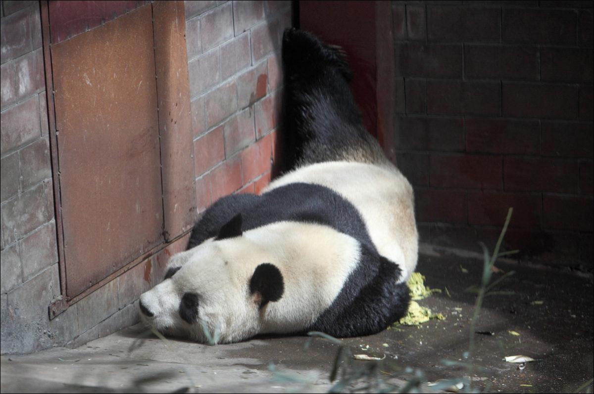 Панда зоопарк Пекина