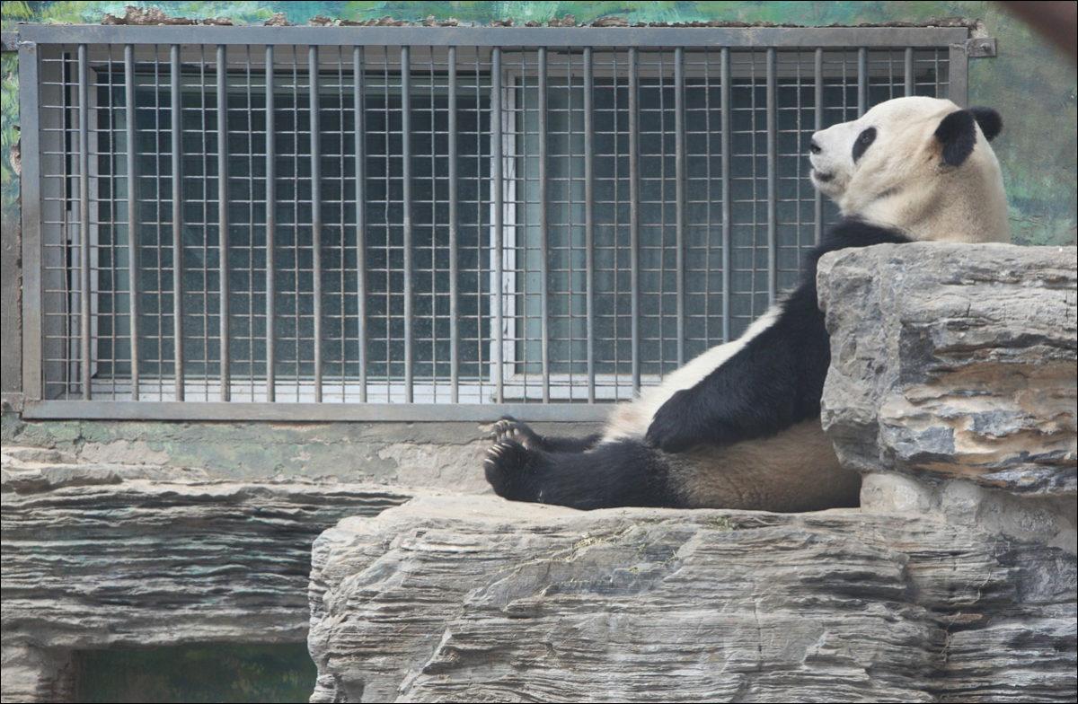 Панда медитирует зоопарк Пекина
