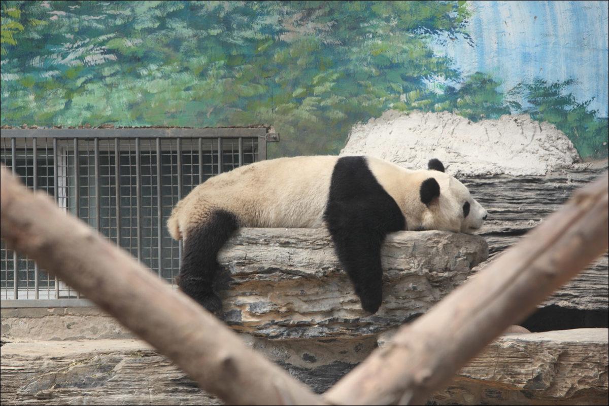 Большая панда зоопарк Пекина