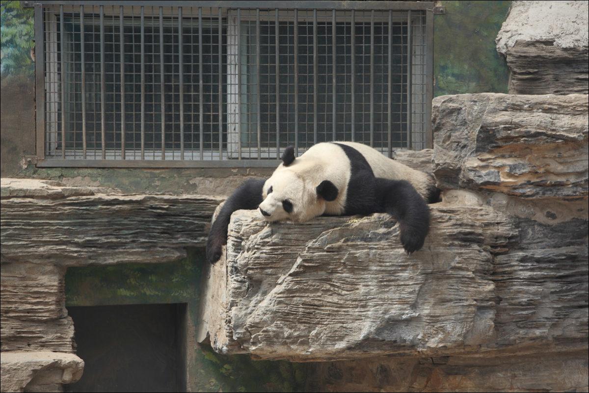 Панда спит в зоопарке Пекина