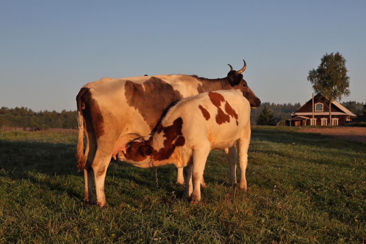 Коровы на истоке Волги утром