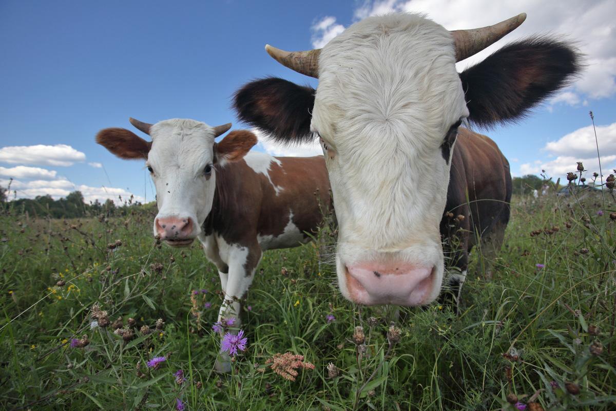 Стадо коров Волговерховье